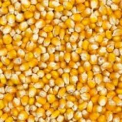 Maïs popcorn 500gr